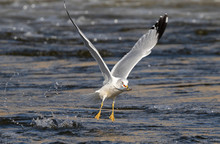 Ring-billed Gull (Larus Delawa...