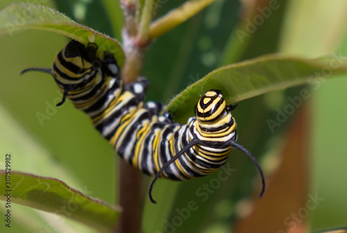 Fényképezés Monarch (Danaus plexippus) caterpillar feeding on milkweed plant, Galveston, Tex