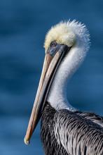 Brown Pelican Close Up Portrait