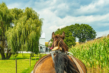 Amish Horse And Buggy Field Ag...