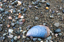 Large Blue Mussel Shell On A P...