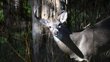 Large Buck In The Woods