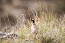Chukar Partridge In The Grass