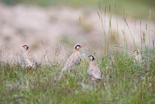 Chukar Partridge Family In The...
