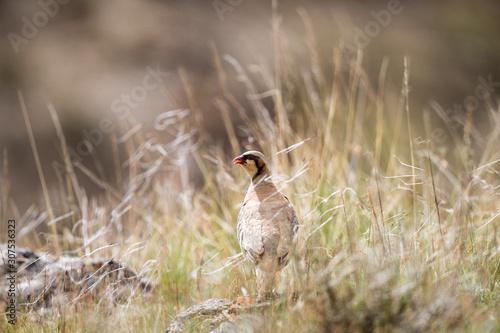 Fotografia chukar partridge in the grass