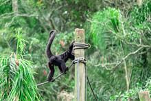 Agitated Monkey Walking High A...