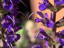 Purple Salvia Flower Blossom In Garden