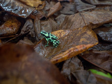 Green Dart Frog On Top Of Dry Brown Leaves, Green And Black Pattern, Costa Rica