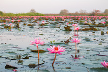The Sea Of Red Lotus Or Talay ...