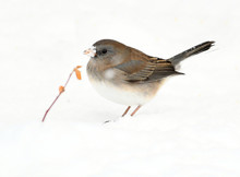 Close Up On Dark Eyed Junco In...