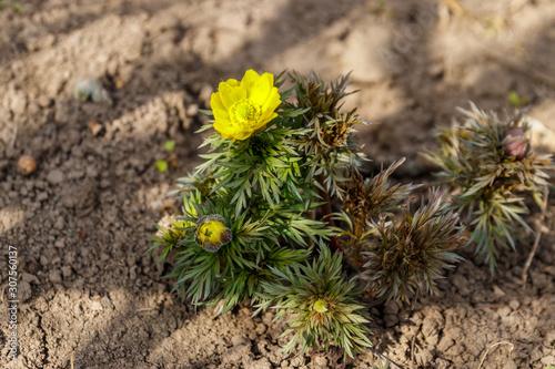 Yellow adonis flower in garden on spring Canvas Print