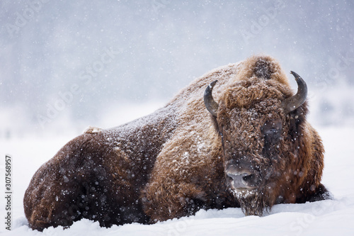 Photo Bison or Aurochs in winter season in there habitat