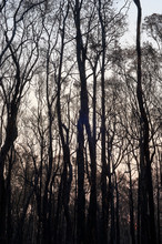 The Charred Trunks Of A Burnt ...