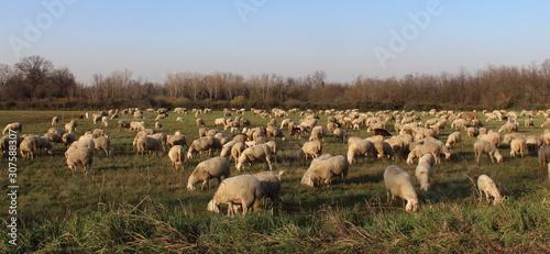 Fototapeta Gregge di pecore al pascolo in campagna