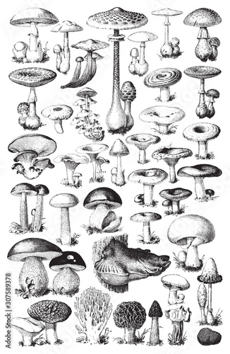 Mushroom and toadstool collection - vector vintage illustration from Petit Larou Tablou Canvas