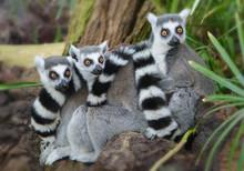 Striped Tailed Lemurs