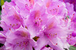 Leinwandbild Motiv Rhododendron im Kurpark Bad Buchau
