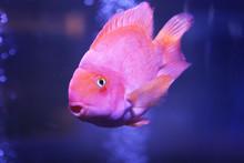Beautiful Blood Parrot Cichlid Fish In Clear Aquarium, Closeup