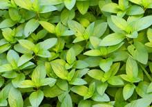 Hybrid Mint, Peppermint (Mentha X Piperita) Aka M Balsamea Willd Plant