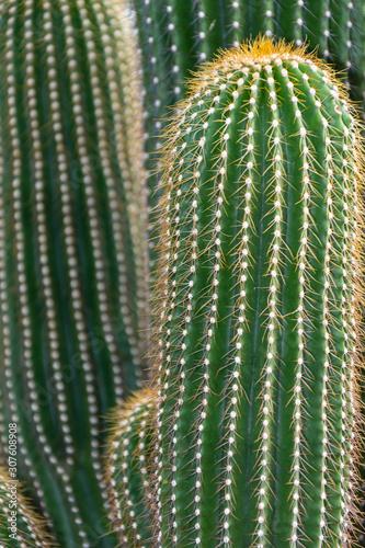 Close-up of Golden Saguaro cactus, with unfocused background, in the Arganzuela Canvas Print