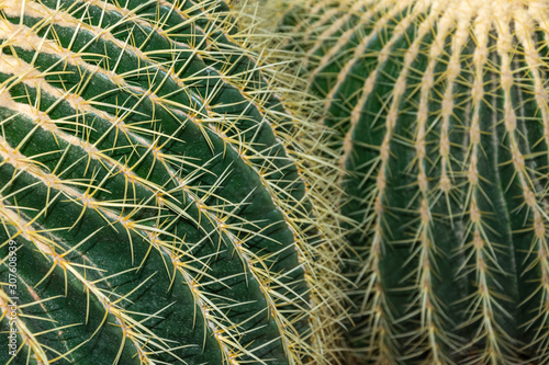 Close-up detail of Echinocactus Grusonii cactus, with unfocused background, in t Wallpaper Mural