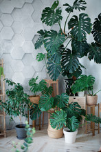 Tropical Plants In Pots And Stands. Orangery With Gray Hexagon Walls. Green Plants Indoors Interior