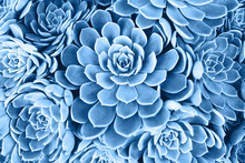 Blue Toned Succulent. Main Col...