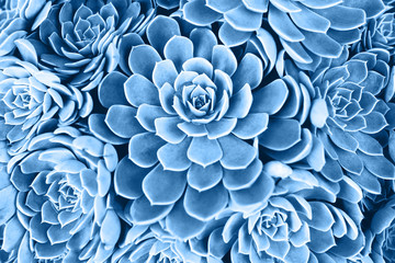 Blue toned succulent. Main color trend for 2020 year.
