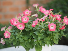 Pink Passion Wave Petunia Hybrida, Solanaceae, Name Flower Bouquet Beautiful On Blurred Of Nature Background Flowers Are Single Flowers Shape Is A Cone, Long Neck Flower, Petals And Secondary Petals