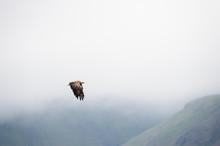 White-tailed Eagle (Haliaeetus...