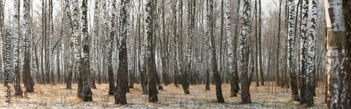 Fond de hotte en verre imprimé Bosquet de bouleaux Panorama of a birch grove in winter. slender white trees
