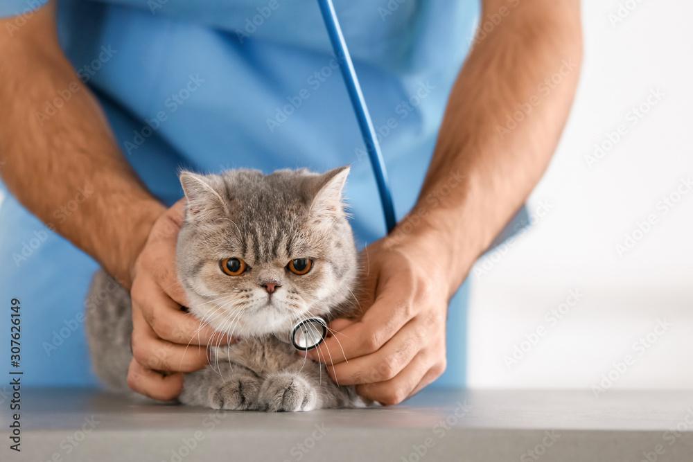 Veterinarian examining cute cat in clinic, closeup