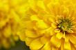 Leinwandbild Motiv closeup beautiful yellow chrysanthemum flower in the garden, flower background