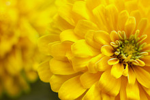 Closeup Beautiful Yellow Chrysanthemum Flower In The Garden, Flower Background