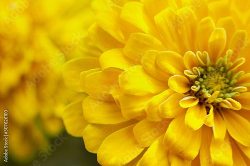 closeup beautiful yellow chrysanthemum flower in the garden, flower background
