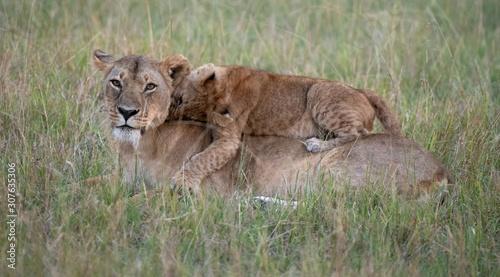 Obraz na plátně Lion cub lying on mother