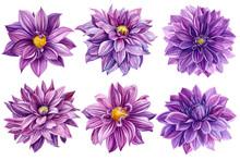 Violet Dahlias Set Of Flowerso...