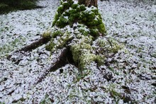 Thick Green Moss On Trunk And Tree Roots Covered With First Light White Snow