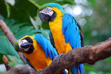 Blue And Yellow Parrots (Macaw)