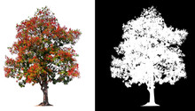 Isolated Tree With Red Flower On White Background With Clipping Path