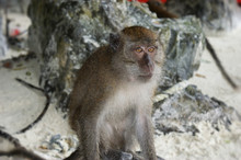 A Monkey Sits On A Beach And L...
