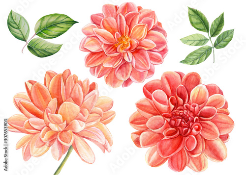 Stampa su Tela beautiful set of flowers dahlia and green leaves isolated on a white background,