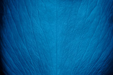 Tender Beautiful Rose Petal Texture. Blue Rose Petal Close Up. Macro Photo Of Natural Rose Petal Texture. Rose Petal Background. Trendy Banner With Color Of The Year 2020