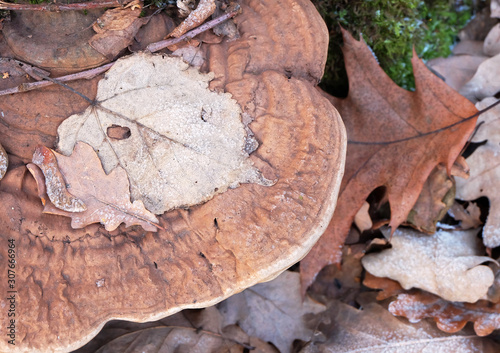 Linden and oak leaves on mushrooms Polypore during frost in the winter forest Tablou Canvas