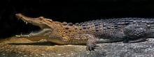 Philippine Crocodile On The Ground In Its Enclosure. Latin Name - Crocodylus Mindorensis