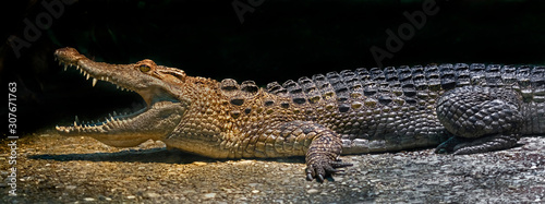 Photo Philippine crocodile on the ground in its enclosure