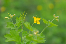 Flowers Of Chelidonium Growing In Summer Greenery. Yellow Greater Celandine Flower On Green Blurred Nature Background. Greater Celandine (Chelidonium Majus, Tetterwort, Nipplewort Or Swallowwort).