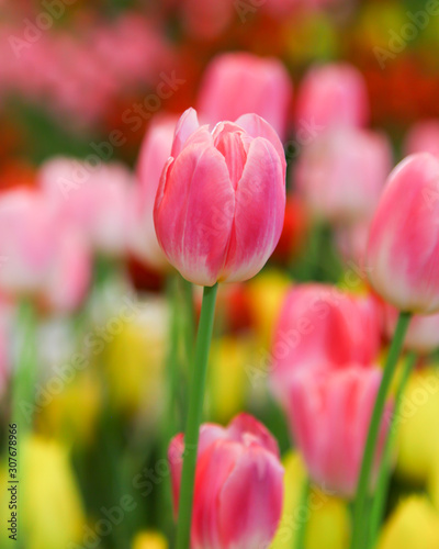 Fresh beautiful pink and white tulip flower Canvas Print