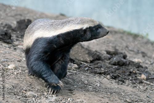 Fotografie, Tablou Honey Badger (Mellivora capensis)