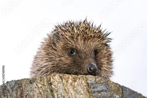 Pinturas sobre lienzo  Hedgehog in the Carpathian region close up, sitting on a hemp.
